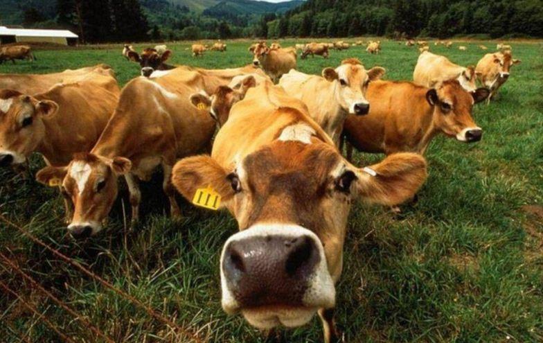 Вздутие рубца у коровы
