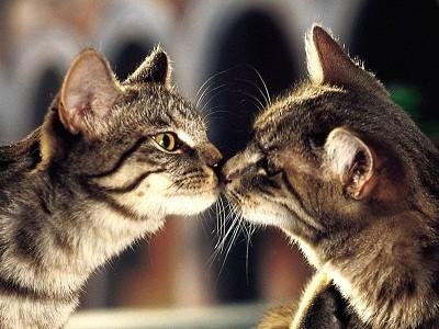 Как заняться разведением кошек