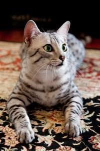 Кошки породы египетская мау (2)