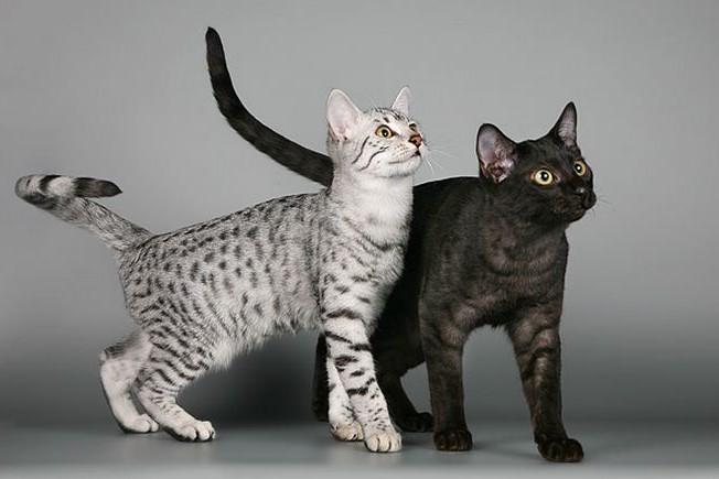 Кошки породы египетская мау