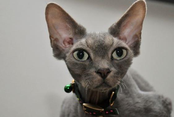 Кошка девонширский рекс